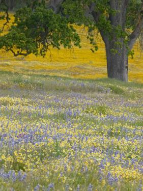 Lone Oak and Spring Wildflowers, San Luis Obispo County, California, USA by Terry Eggers