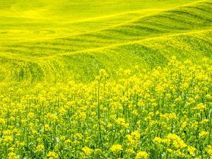 Patterns in canola fields by Terry Eggers
