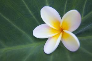 Plumeria Bloom on Large Leaf by Terry Eggers