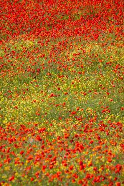 Poppy Fields in Full Bloom, Tuscany, Italy by Terry Eggers