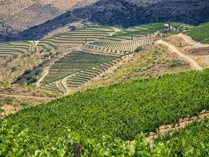 Portugal, Douro Valley. Terraced vineyards lining the hills by Terry Eggers