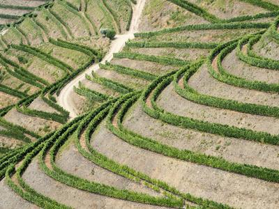 Portugal, Douro Valley. Terraced vineyards lining the hills