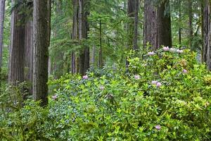 Redwood Trees and Rhododendrons in Forest by Terry Eggers