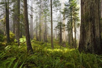 Redwood Trees in Morning Fog with Sunrays