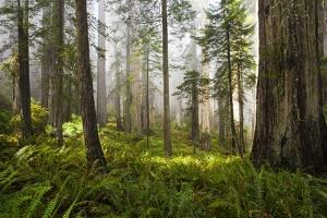 Redwood Trees in Morning Fog with Sunrays by Terry Eggers