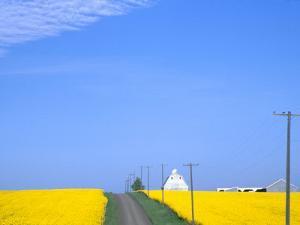 Road Running Through Canola Field with Gray Barn, Grangeville, Idaho, USA by Terry Eggers