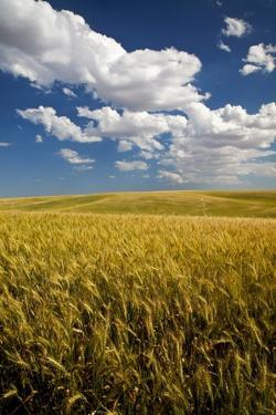 Rolling Hills of Harvest Wheat by Terry Eggers