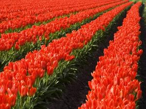 Rows of Red Tulips in Bloom in Skagit Valley by Terry Eggers