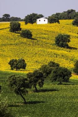 Small White House in Hillside in Sunflower and Oak Tree by Terry Eggers