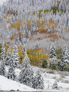 Snow Covered Aspens, Maroon Bells, Colorado, USA by Terry Eggers
