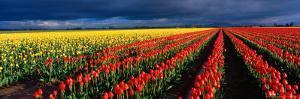 Spring Tulip Rows, Skagit Valley, Washington, USA by Terry Eggers
