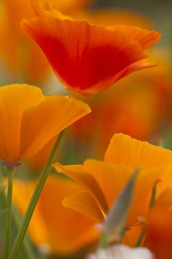 Summer Mission Bell Poppies in Full Bloom, Seattle, Washington, USA by Terry Eggers