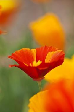 Summer Mission Bell Poppies in Full Bloom by Terry Eggers