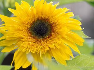 Sunflower, Seattle, Washington, USA by Terry Eggers