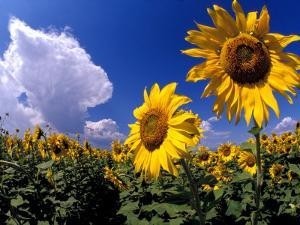Sunflowers, Colorado, USA by Terry Eggers