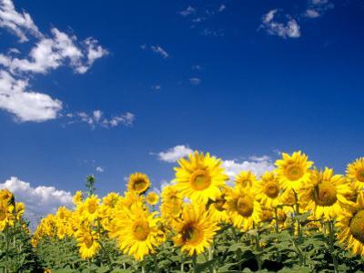 Sunflowers, Colorado, USA