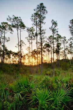 Sunrise in Long Pine Area of Everglades National Park by Terry Eggers