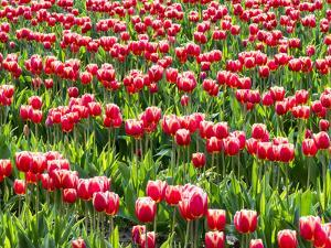 Tulip fields in bloom by Terry Eggers