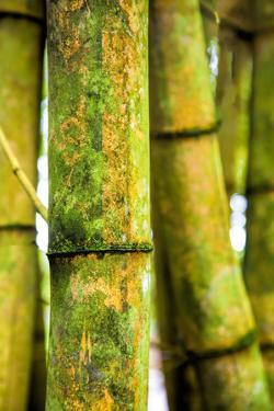 USA, Hawaii, Oahu, Close up of Bamboo stocks by Terry Eggers