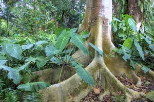 USA, Hawaii, Oahu, Philodendrons Growing in Forest by Terry Eggers
