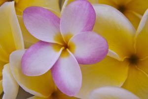 USA, Hawaii, Oahu, Plumeria Flowers in Bloom by Terry Eggers