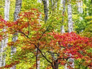 USA, Michigan. Fall color in the hardwood forest of the Upper Peninsula by Terry Eggers