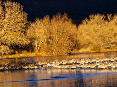 USA, New Mexico, Bosque del Apache, Sandhill cranes at dawn by Terry Eggers