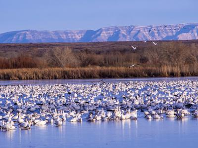 USA, New Mexico, Bosque del Apache, Snow Geese at dawn by Terry Eggers