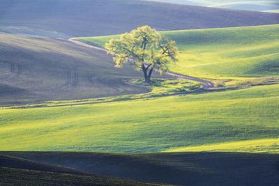 USA, Washington State, Palouse, Lone Tree in Wheat Field by Terry Eggers