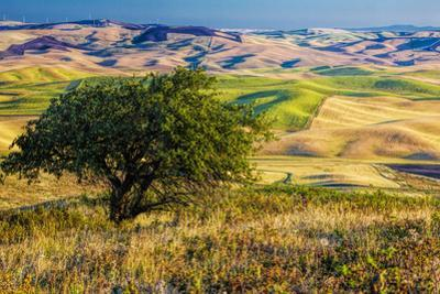 USA, Washington State, Palouse Region, Apple Tree in Rolling harvest Hills by Terry Eggers