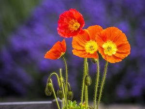 USA, Washington State, Poppies on Display by Terry Eggers