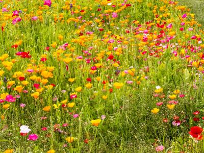 USA, Washington State, Poppy Field in bloom by Terry Eggers