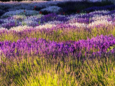 USA, Washington State, Sequim, Lavender Field by Terry Eggers