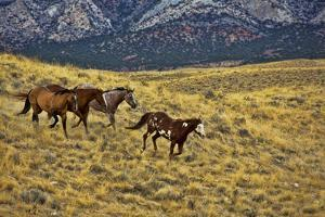 USA, Wyoming, Shell, Big Horn Mountains, Horses Running in Field by Terry Eggers