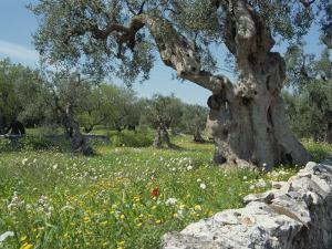 Olive Trees, Puglia, Italy, Europe by Terry Sheila