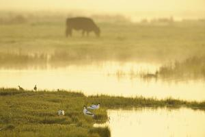 Avocet (Recurvirostra Avosetta) in Mist at Dawn with Cattle Grazing, Thames Estuary, Kent, UK by Terry Whittaker