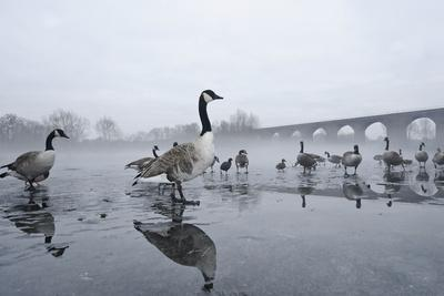 Canada Geese (Branta Canadensis) Standing on Frozen Lake