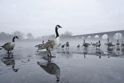 Canada Geese (Branta Canadensis) Standing on Frozen Lake by Terry Whittaker