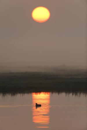 Duck on Water in Reflection of Sunlight at Dawn, Elmley Rspb Reserve, Kent, UK, April by Terry Whittaker