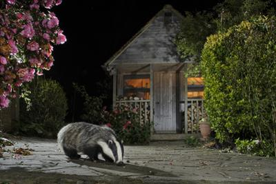 European Badger (Meles Meles) Feeding On Food Left Out In Urban Garden, Kent, UK, May by Terry Whittaker