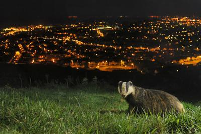 European Badger (Meles Meles) on the North Downs Above Folkestone. Kent, UK, June by Terry Whittaker