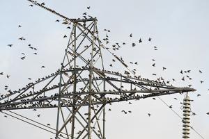 Flock of Starlings (Sturnus Vulgaris) Flying to Roost on Electricity Pylon by Terry Whittaker