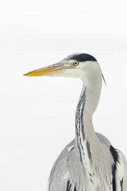 Grey Heron (Ardea Cinerea) Portrait, River Tame, Reddish Vale Country Park, Stockport, UK, December by Terry Whittaker