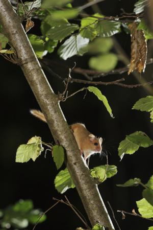 Hazel Dormouse (Muscardinus Avellanarius) in Coppiced Hazel Tree, Kent, UK by Terry Whittaker