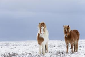 Horse, Icelandic Pony, two adults, standing on snow by Terry Whittaker