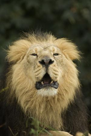 Indian Lion (Panthera leo persica) adult male, roaring, close-up of head, captive by Terry Whittaker