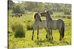 Konik Horse (Equus Caballus) Pair Interacting, Wild Herd in Rewilding Project, Wicken Fen, UK by Terry Whittaker