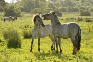 Konik Horse (Equus Caballus) Pair Interacting, Wild Herd in Rewilding Project, Wicken Fen, UK by Terry Whittaker