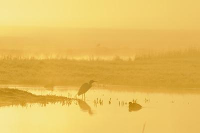 Little Egret (Egretta Garzetta). North Kent Marshes. Elmley Nature Reserve by Terry Whittaker