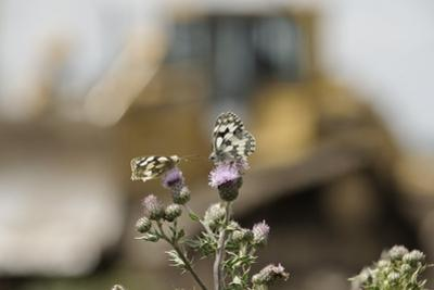 Marbled White Butterflies (Melanargia Galathea) Resting on Thistle by Terry Whittaker